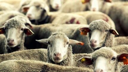 ovelhas-coletivismo-621-e1406723042902